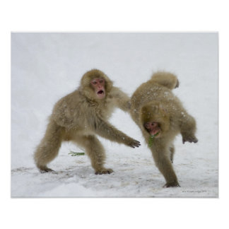 Japanese Snow Monkey cubs playing on snow Posters