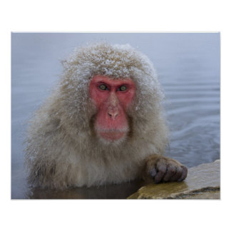Japanese Snow Monkey in hotspring Poster