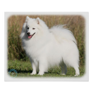 Japanese Spitz 9Y576D-261 Poster