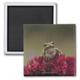 Japanese tree frog (Hyla japonica) on flowers, 2 Inch Square Magnet