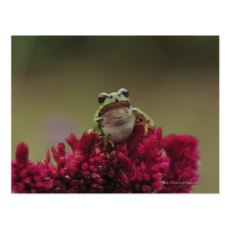 Japanese tree frog (Hyla japonica) on flowers, Postcard