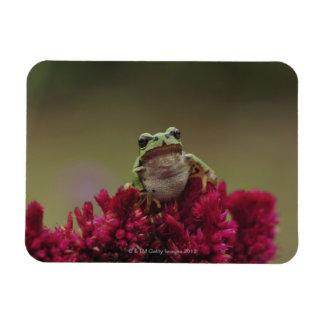 Japanese tree frog (Hyla japonica) on flowers, Rectangular Photo Magnet