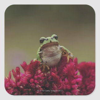 Japanese tree frog (Hyla japonica) on flowers, Square Sticker