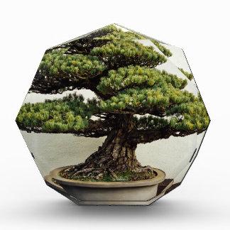 Japanese White Pine Bonsai Tree Award