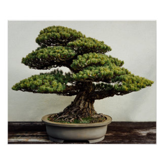 Japanese White Pine Bonsai Tree Poster