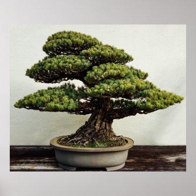 Bonsai Tree Poster   Zazzle