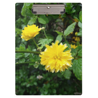 Japanese Yellow Rose Flower Kerria Japonica Clipboard