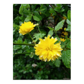 Japanese Yellow Rose Flower Kerria Japonica Postcard
