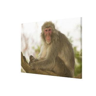 Japón, isla de Honshu, Kyoto, mono de Arashiyama Impresión En Lona