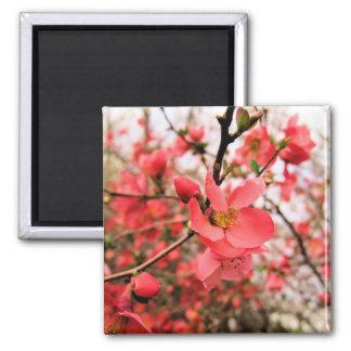 Japonica Blossoms Magnets