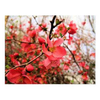 Japonica florece postal