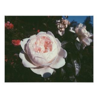 Jardín color de rosa de la prueba fotografía