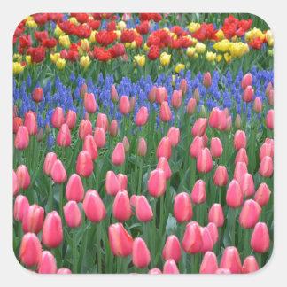 Jardín colorido del tulipán de la primavera pegatina cuadrada