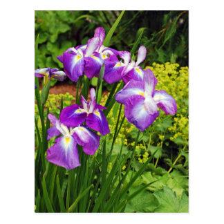Jardín de flores púrpura del iris postales