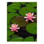 Jardín de flores rosado del lirio de agua del postal