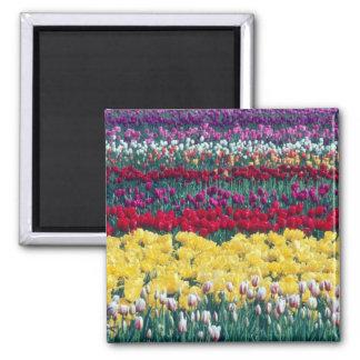 Jardín de la exhibición del tulipán en el condado  imán cuadrado