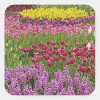 Jardín de tulipanes, de narcisos, y del jacinto calcomania cuadradas personalizadas