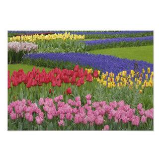 Jardín de tulipanes, jacinto de uva y fotografía