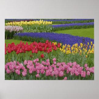 Jardín de tulipanes, jacinto de uva y poster