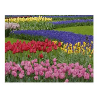 Jardín de tulipanes, jacinto de uva y tarjeta postal
