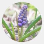 Jardín del bulbo - jacinto de uva pegatina redonda