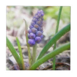 Jardín del bulbo - jacinto de uva teja