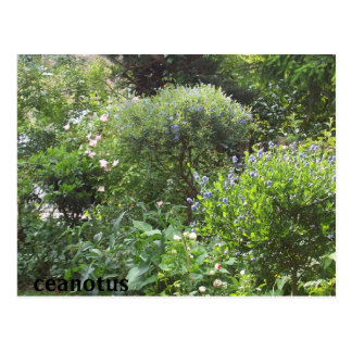jardín del ceanotus postales