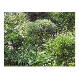 jardín del ceanotus tarjetas postales