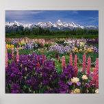 Jardín del iris y del Lupine y gama de Teton, Póster