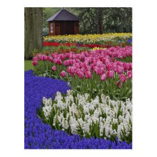 Jardín del jacinto de uva, del jacinto y de tulipa postal