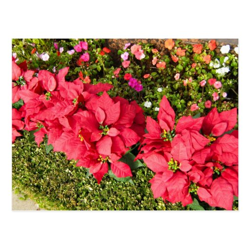 Jardín del Poinsettia Tarjeta Postal