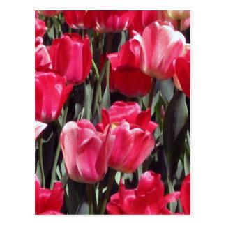 Jardín del tulipán postales