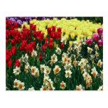 Jardín del tulipán tarjetas postales