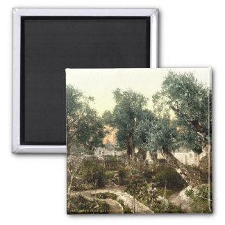 Jardín del vintage de Gethsemane Jerusalén Israel  Imán Cuadrado