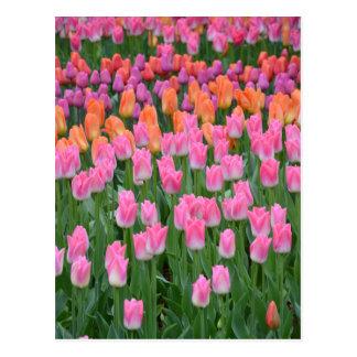Jardín rosado y anaranjado del tulipán postales