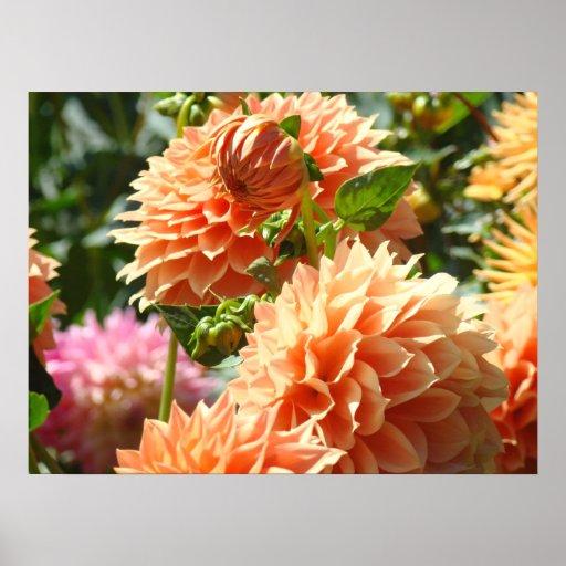 Jardines de flores anaranjados de la dalia de los