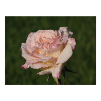 Jardins de Bagatelle Hybrid Tea Rose 054 Poster