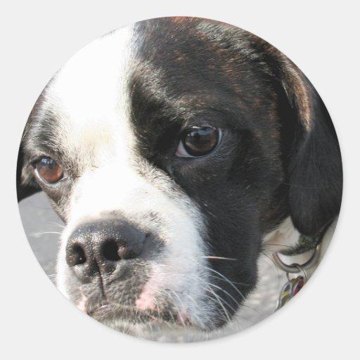 Jarno - híbrido Photo-1 de Boston Terrier Etiqueta