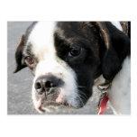 Jarno - híbrido Photo-1 de Boston Terrier Postal