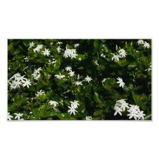Jasmine Flowers Photo Print