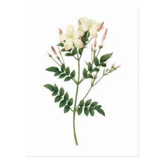 jasmine(Jasminum grandiflorum) by Redouté Postcard