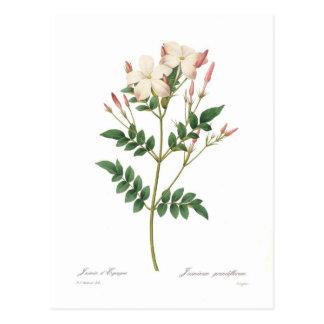 Jasminum grandiflorum postcard