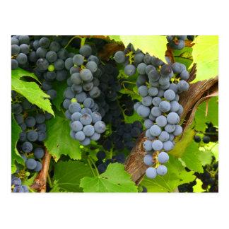 JAV St. Croix purple grapes 2013 1 Postcard