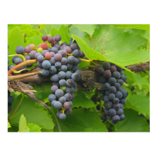 JAV St. Croix purple grapes 2013 3n Postcard