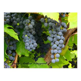 JAV St. Croix purple grapes 2013 6 Postcard