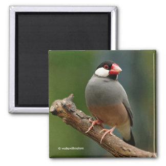 Java Finch Magnet