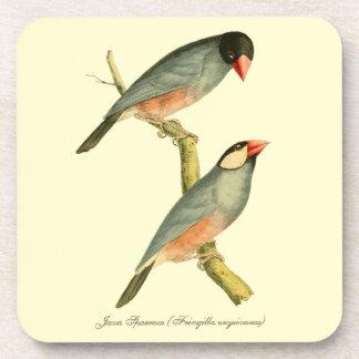Java Sparrow, Coaster