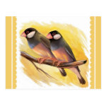 Java Sparrow Finches Realistic Painting Postcard