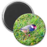 Java Sparrow in the grass in Hawaii Refrigerator Magnets
