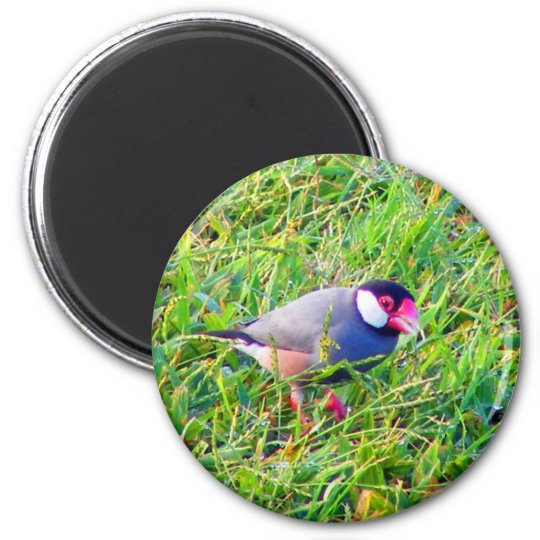 Java Sparrow in the grass in Hawaii Magnet